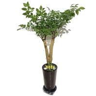 행복나무 1m50가량