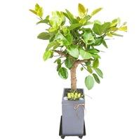 뱅갈고무나무3