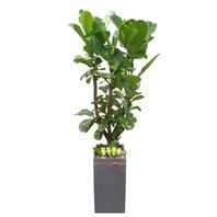 떡갈고무나무S (1m70가량)
